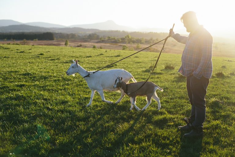 Goats and a Recipe for Soft Chevre